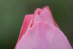 Gerichte Roze Uiteinden Royalty-vrije Stock Fotografie