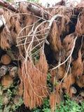 Geriebener Tannenbaum auf Baumstapel stockfotos