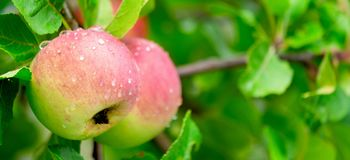 Gerijpte sappige en heerlijke appelen op een tak na de regen stock afbeelding