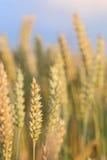 Gerijpte tarwe klaar voor oogst Royalty-vrije Stock Afbeeldingen