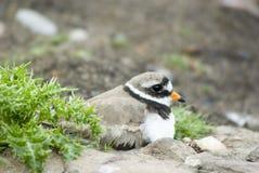 Geringde Plevier op Nest stock foto's