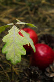 Germ of oak closeup a blurred background of soil and red apples Royalty Free Stock Images