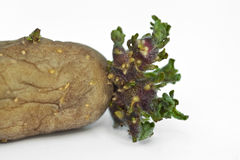Germ of a potato. Close up on the germ of a potato Royalty Free Stock Images