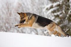 German shepherd running in the snow Stock Image