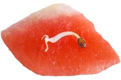 Germ of a watermelon Stock Photos