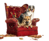 German and Australian Shepherd on a destroyed armchair, isolated Royalty Free Stock Photography