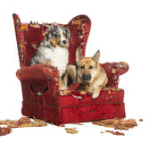 German and Australian Shepherd and Poodle on destroyed armchair Stock Photography