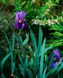 German Bearded Iris on Film. Shot this deep purple German Bearded Iris using a medium format film camera and Fuji Velvia 50 film. This was before I owned an Royalty Free Stock Photos