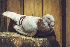 German beauty homer pigeon Royalty Free Stock Image