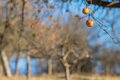 German blurred orchard with ripe apples at a tree Stock Images