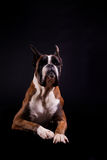 German Boxer Stock Images