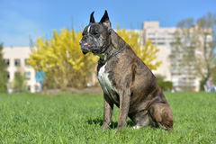 German boxer with cropped ears Stock Photo