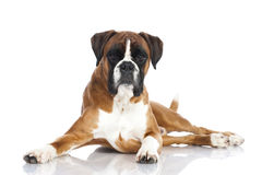 German boxer dog Stock Images