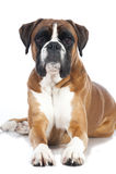 German boxer dog Royalty Free Stock Photos