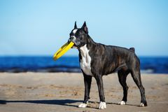 German boxer dog on the beach in summer Stock Photo