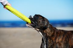 German boxer dog on the beach in summer Stock Image