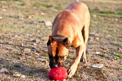German boxer dog royalty free stock photography