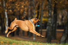 German boxer dog jumping outdoors Stock Photos