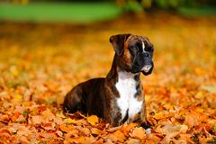 German boxer dog. Is playing outside in autum leaf stock photography