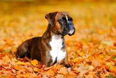 German boxer dog. Is playing outside in autum leaf royalty free stock image