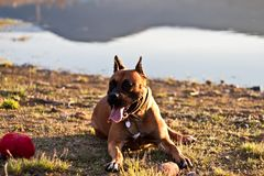 German boxer dog royalty free stock images