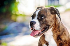 German boxer dog portrait. A close up of a beautiful german boxer dog stock photo