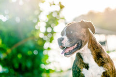 German boxer dog portrait. A close up of a beautiful german boxer dog royalty free stock photo