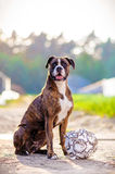 German boxer dog portrait with football. A cute  boxer dog with a soccer ball portrait outdoors Stock Photography