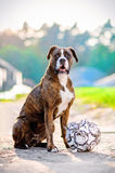 German boxer dog portrait with football. A cute  boxer dog with a soccer ball portrait outdoors Stock Photo
