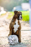 German boxer dog portrait with football. A cute boxer dog with a soccer ball portrait outdoors royalty free stock photography