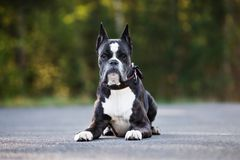 German boxer dog posing outdoors in summer Royalty Free Stock Photos