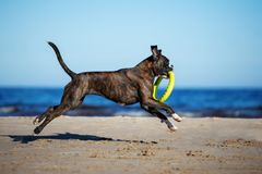 German boxer dog running on the beach Royalty Free Stock Photos