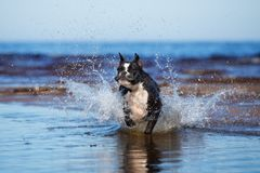 German boxer dog running in the sea Stock Photo