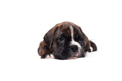 German boxer puppy Stock Photos