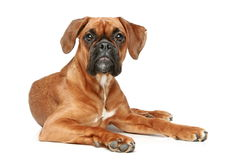 German Boxer puppy (5 month) Royalty Free Stock Photos