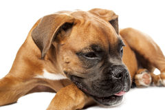 German Boxer puppy (5 month) Royalty Free Stock Photography