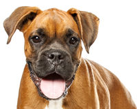 German Boxer puppy (5 month) Stock Photography
