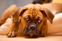 German Boxer - puppy dog with hangover. German Boxer - sad, lonely dog with hangover Royalty Free Stock Image