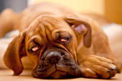 German Boxer - puppy dog with hangover. German Boxer - sad dog with hangover lying on the floor Stock Photo