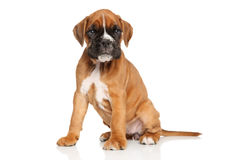 German Boxer puppy sits on white Stock Photo