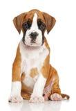 German Boxer puppy on white stock photo