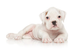 German Boxer puppy on white Royalty Free Stock Photo