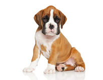 German Boxer puppy on white Royalty Free Stock Photography