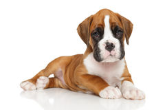 German boxer puppy on white stock photos