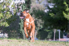 German boxer running and jumping at a park. Stock Images
