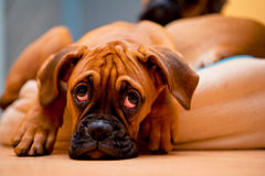 German boxer - sad puppy dog. German Boxer - lonely puppy dog with sadness in eyes Royalty Free Stock Photography