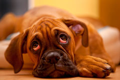 German boxer - sad puppy dog. German Boxer - lonely puppy dog with sadness in eyes Stock Photos