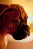 German boxer - sad puppy dog. German Boxer - lonely puppy dog with sadness in eyes royalty free stock images