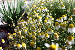 German chamomile flowers have yellow centers, white petals seen here in closeup. German chamomile is an essential oil plant that produces white composite flowers stock photography
