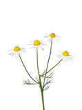 German chamomile (Matricaria chamomilla) Royalty Free Stock Photos